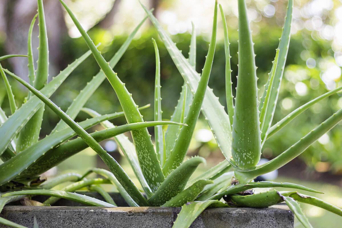 Aloe vera, © by Nevada31/Shutterstock.com