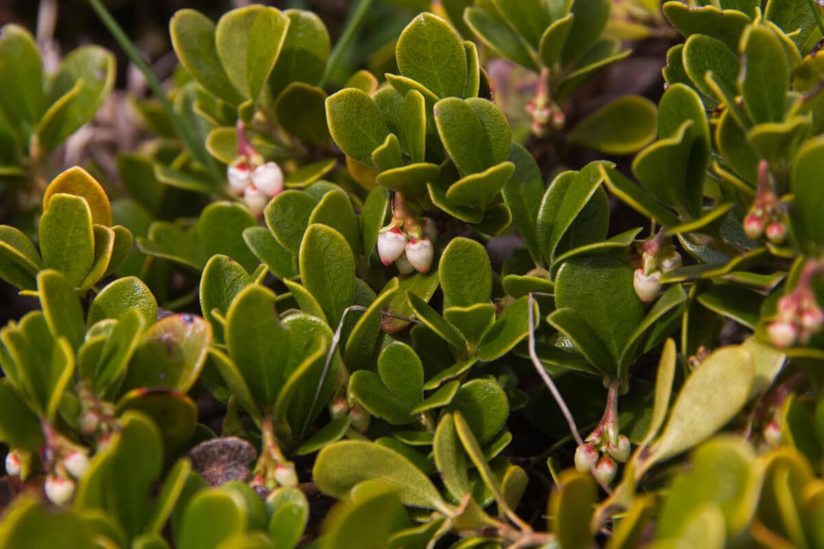 Bärentraube, © by Sigur/Shutterstock.com