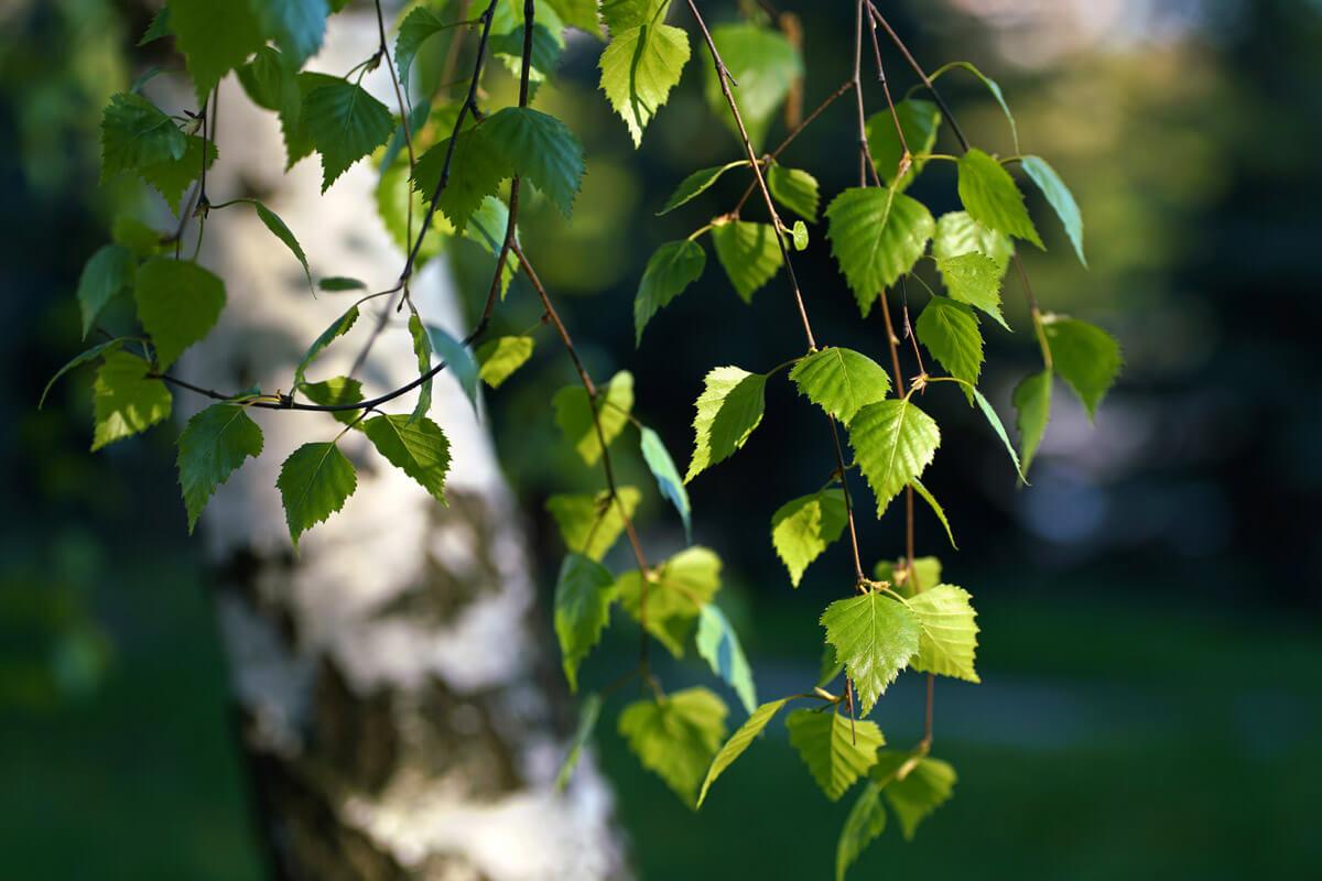 Birke, © by LedyX/Shutterstock.com