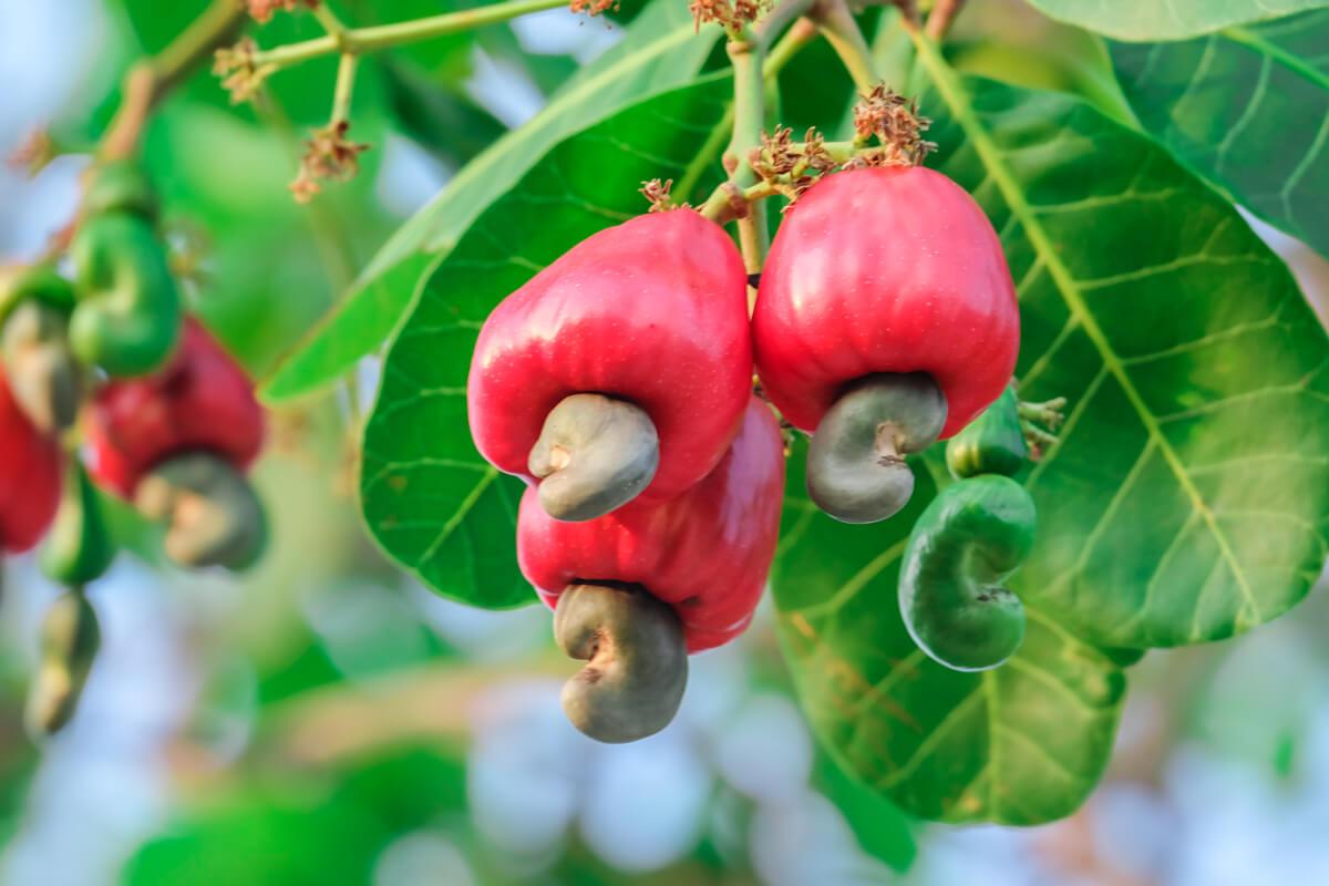 Cashew, © by thanin kliangsa-ard/Shutterstock.com