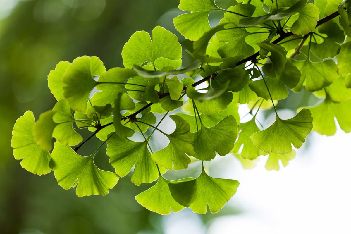Ginkgo biloba, © by v.apl/Shutterstock.com