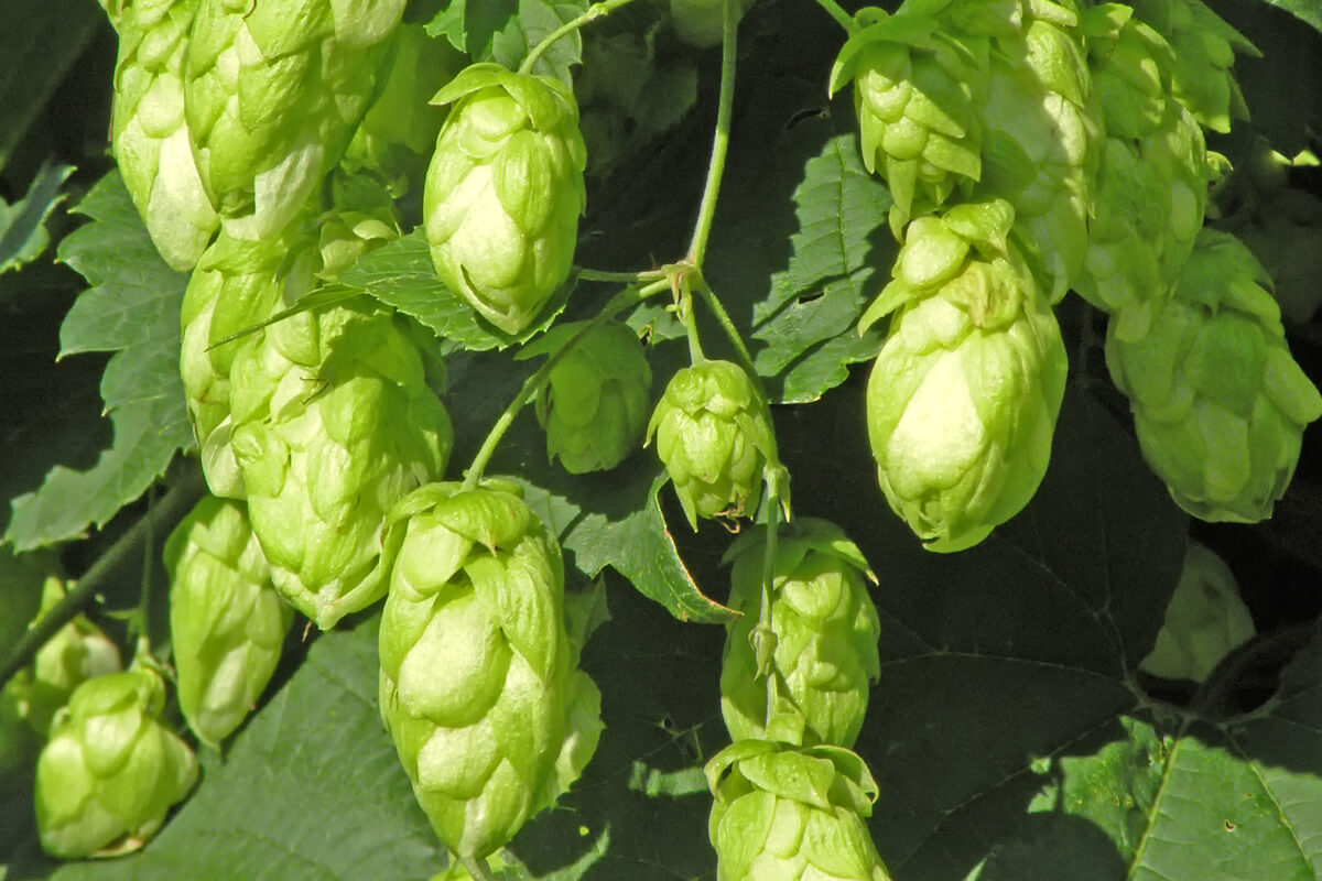 Hopfen
