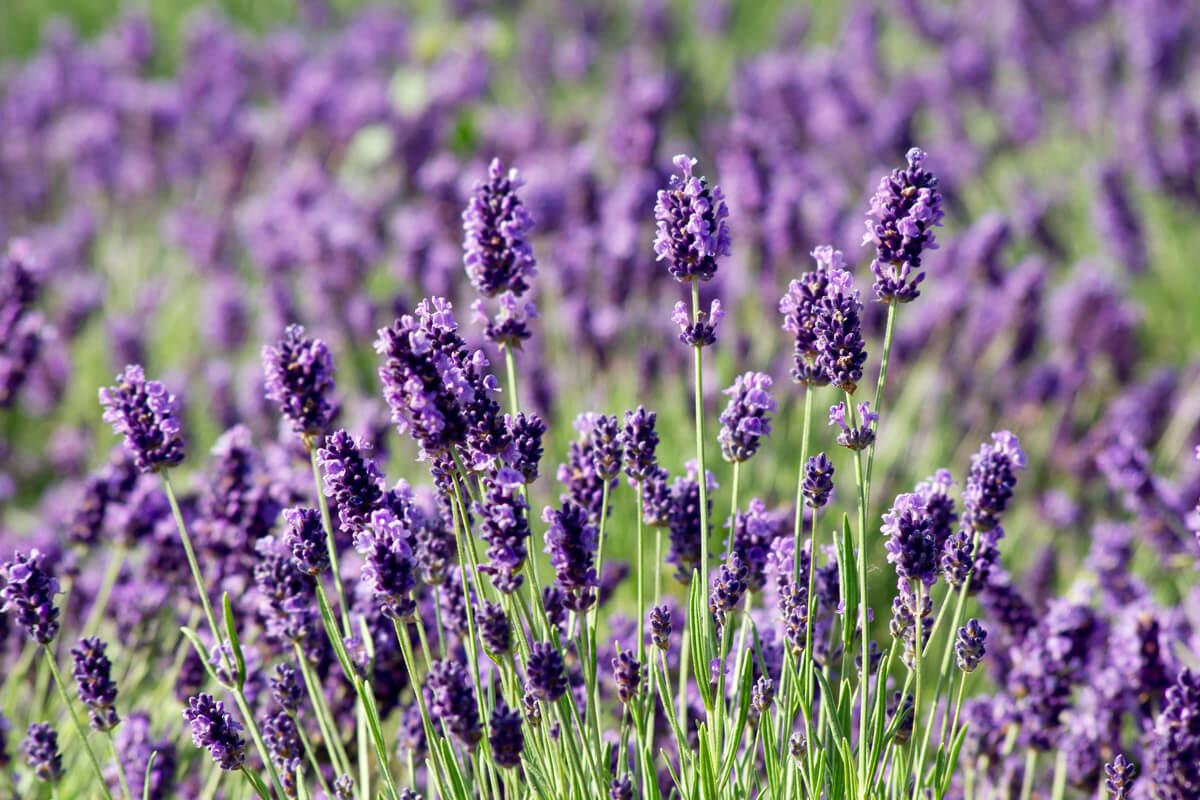 Lavendel, © by dadalia/Shutterstock.com