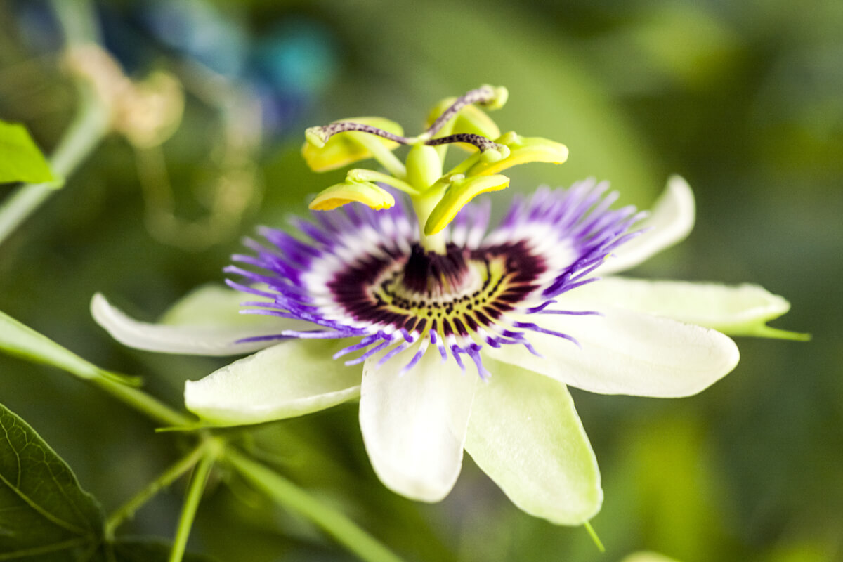 Passionsblume, © by ileana_bt/Shutterstock.com