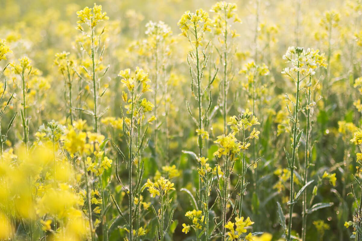 Senf, schwarzer, © by Mohammad Saiful Islam/Shutterstock.com