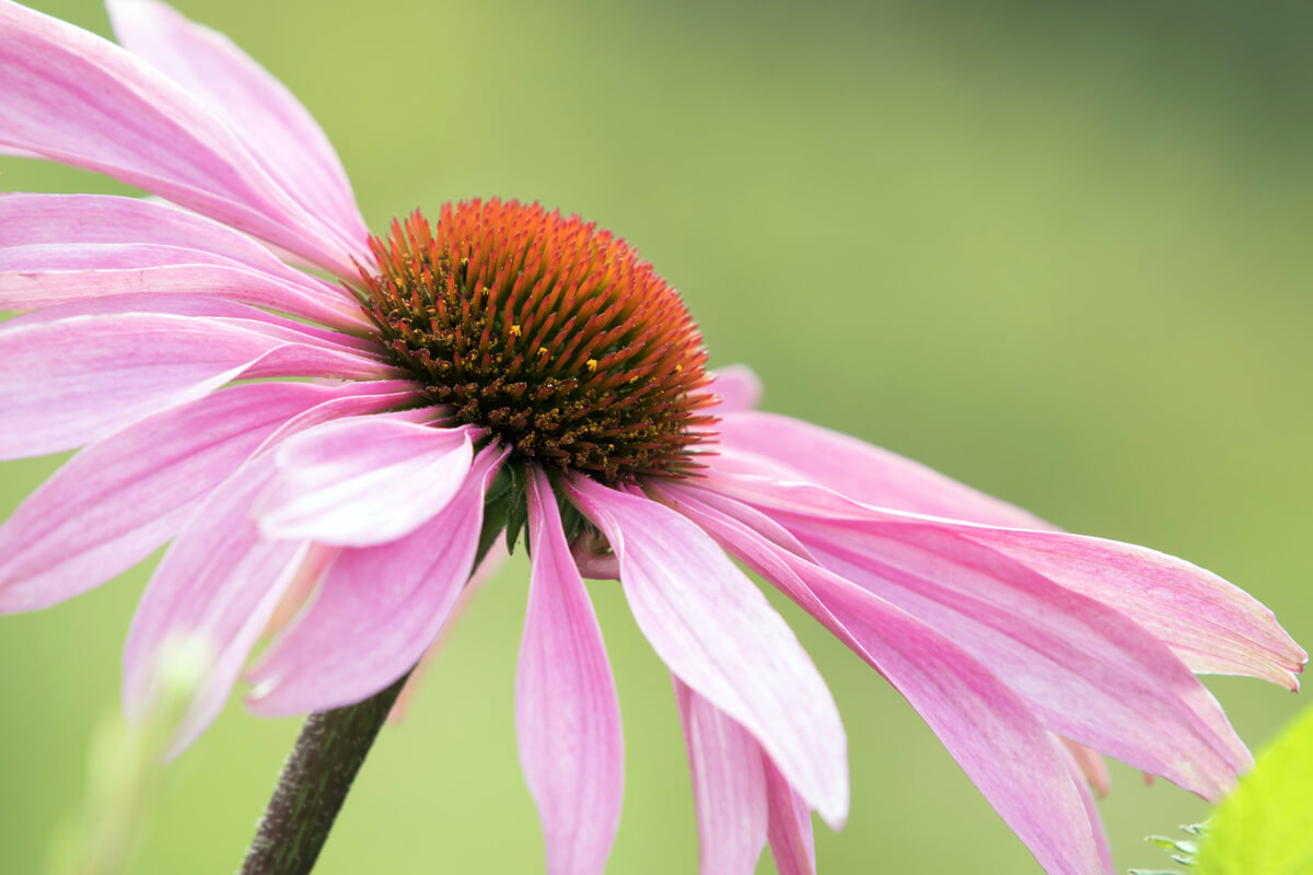 Sonnenhut (Echinacea)